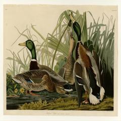 约翰·詹姆斯·奥杜邦《美洲鸟类》(4)John James Audubon