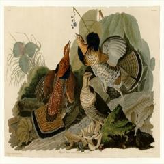 约翰·詹姆斯·奥杜邦《美洲鸟类》(6)John James Audubon