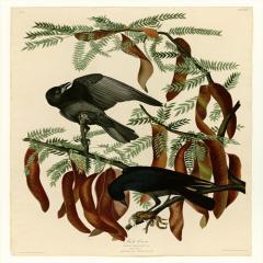 约翰·詹姆斯·奥杜邦《美洲鸟类》(8)John James Audubon
