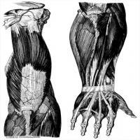 人体解剖学参考学习图片(4)