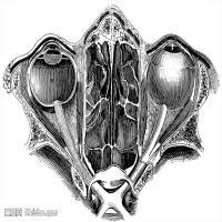 人体解剖学参考学习图片(7)
