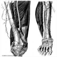 人体解剖学参考学习图片(5)