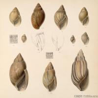 插画水族(3)海螺贝壳插画图案