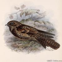 插画鸟类(31)动物飞鸟类图片插画飞鸟图片