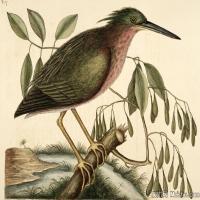 插画鸟类(36)动物飞鸟类图片插画飞鸟图片