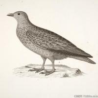 插画鸟类(34)动物飞鸟类图片插画飞鸟图片