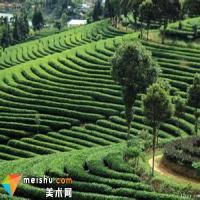 普洱古树茶与台地茶有何区别?