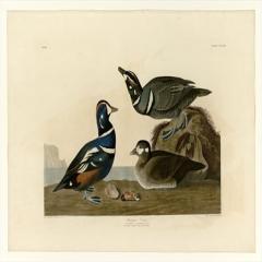 约翰·詹姆斯·奥杜邦《美洲鸟类》(1)John James Audubon