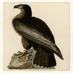 约翰·詹姆斯·奥杜邦《美洲鸟类》(5)John James Audubon