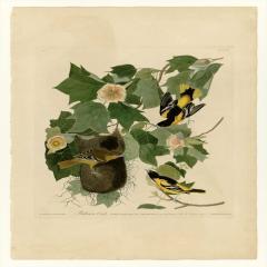 约翰·詹姆斯·奥杜邦《美洲鸟类》(7)John James Audubon